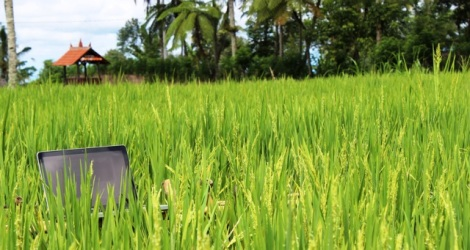 rice fields at Sharing Bali